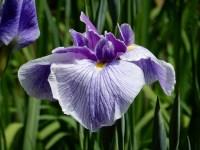 明治神宮の花菖蒲の見頃と開花状況は!歴史的名花の「宇宙」はどこに