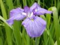 小石川後楽園の花菖蒲2018の開花は去年より早い?見頃はいつまで