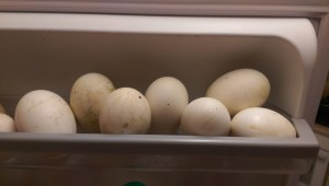 Lots of goose eggs