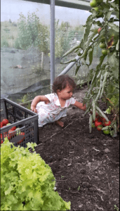 Picking red tomatoes