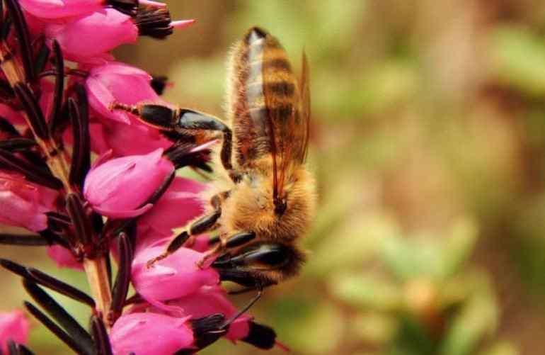 lebah pekerja pada bunga anggrek