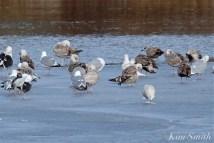 Iceland Gull Eastern Point Gloucester MA -4 copyright Kim Smith