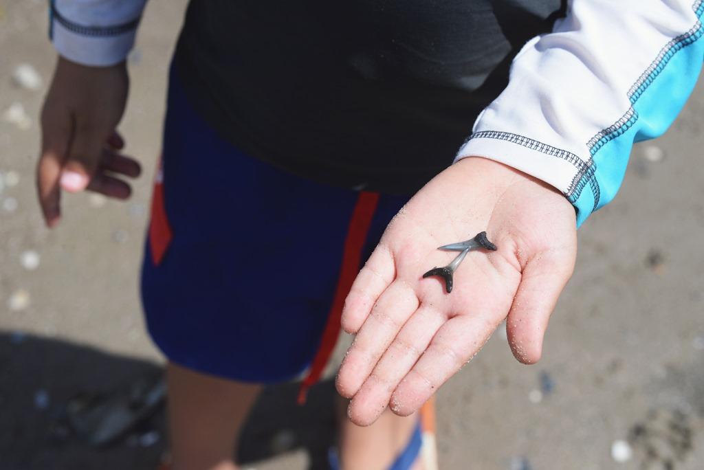 Where To Find Shark Teeth On Saint Simons Island Good Morning Loretta