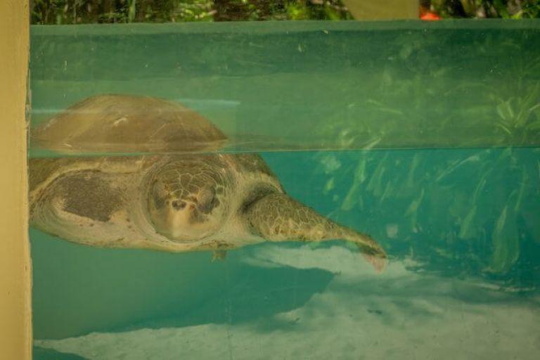 Maldiven reizen Coco Palm Dhuni Olive Ridley Project schildpadtank