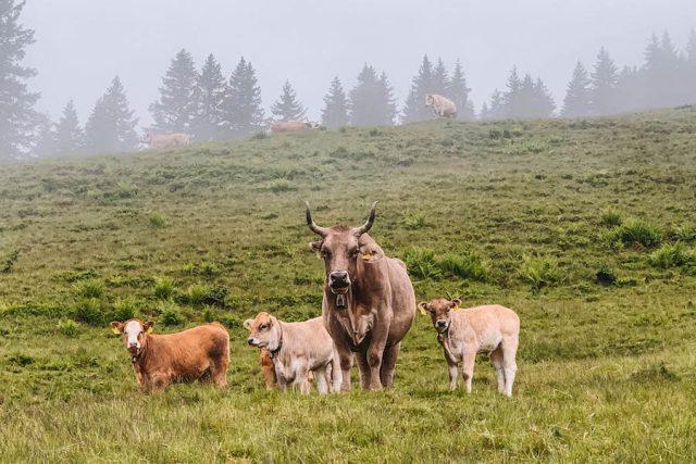 Montafon koeien