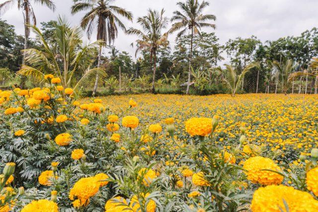 Bali attracties Munduk Marigold veld