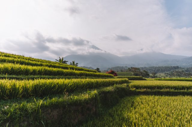 Jatiluwih rijstterrassen panorama