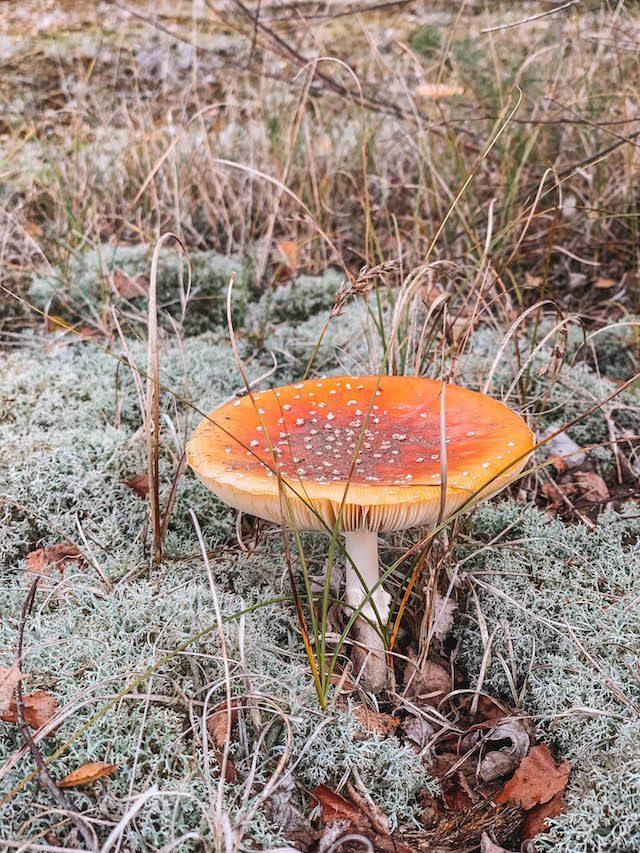 Limburg Hollandse champignon