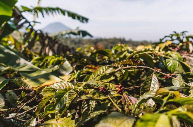Munduk Bali-koffieplantage