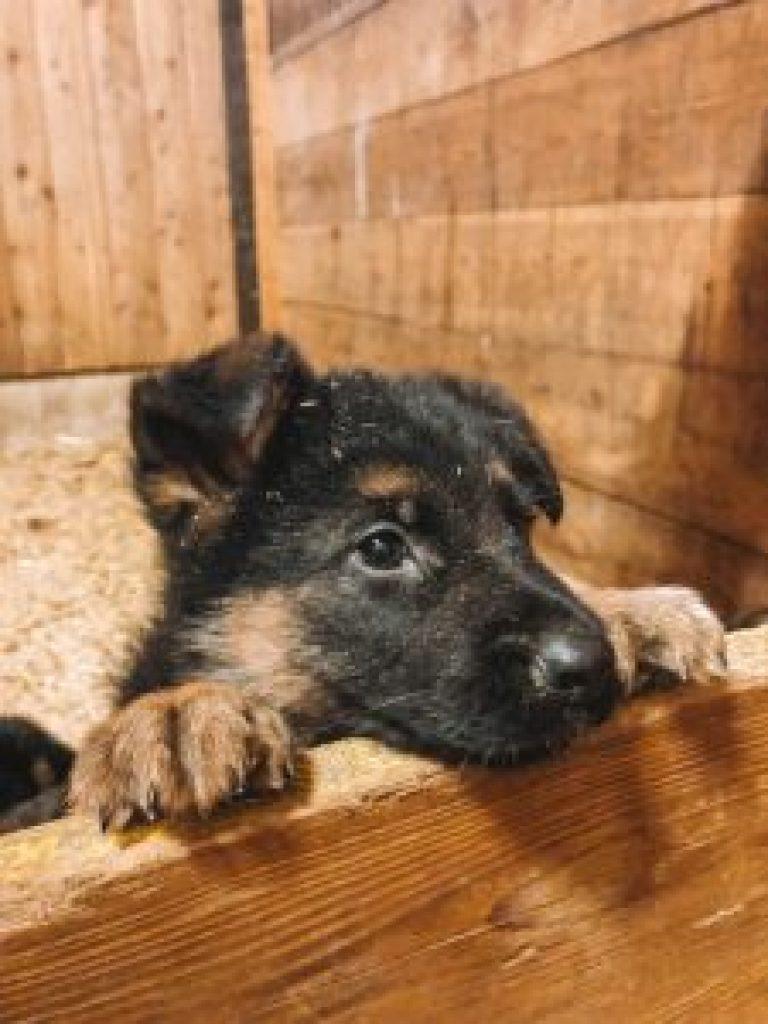 Zuid-Tiroler hond puppy