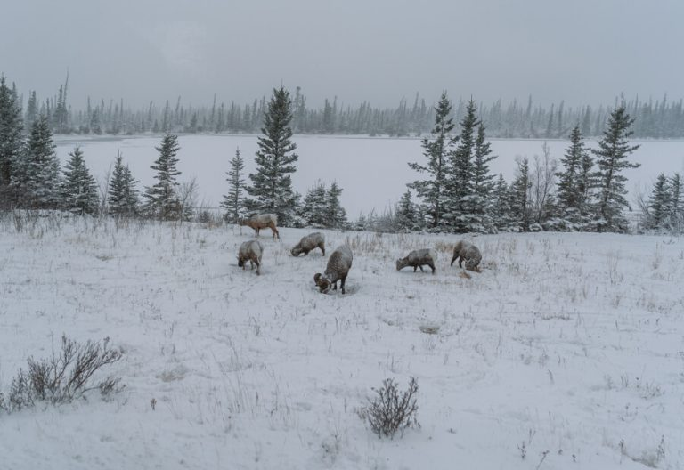Jasper National Park Winter dikhoornschapen