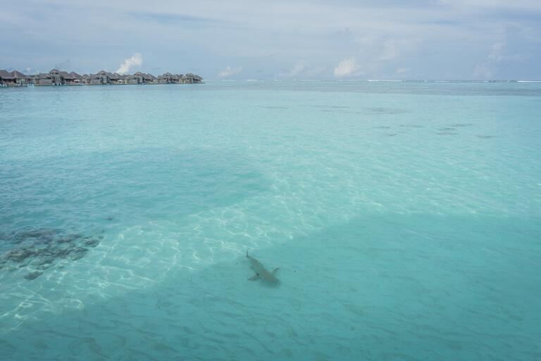 De lagunehaai van de eilanden van de Maldiven