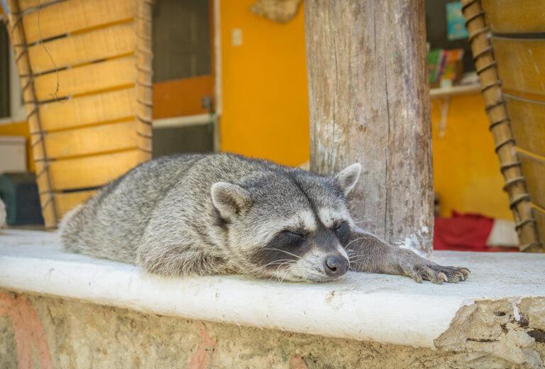 Refugio Holbox Animal Sanctuary Raccoon