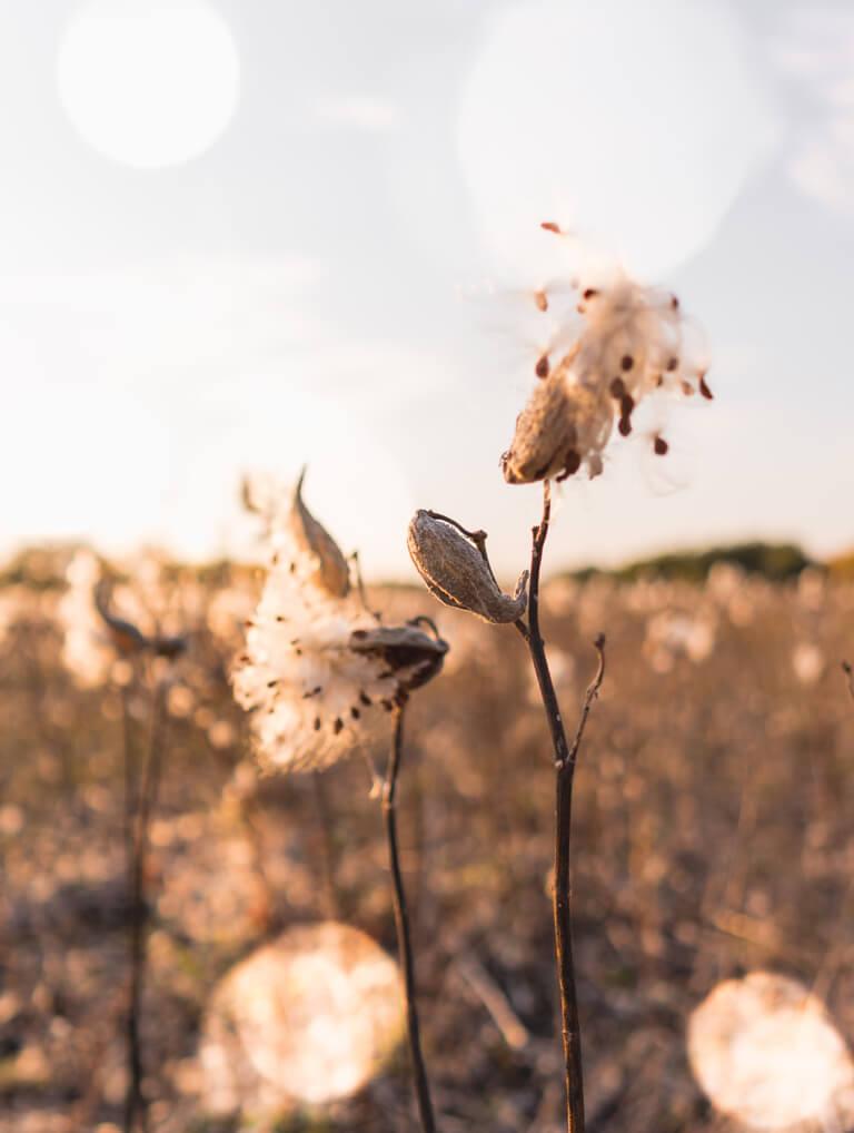 Hongarije Puszta zijdeplant
