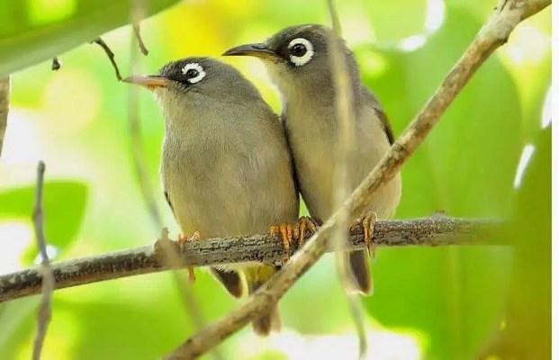mauritius olive white eye