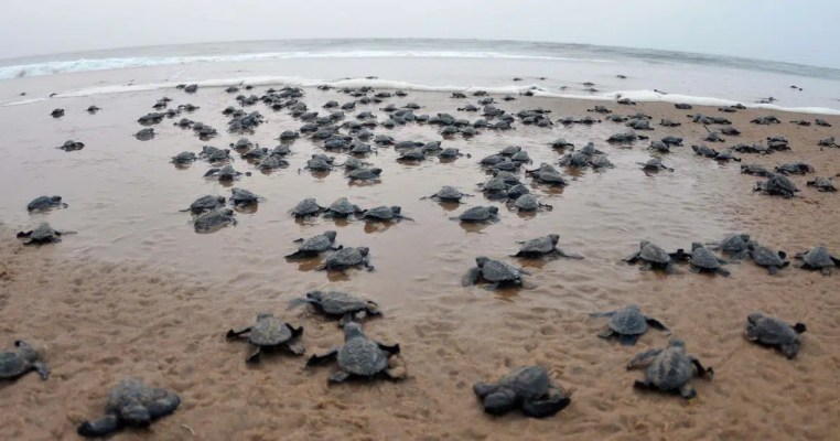 turtles hatching and making their way to the sea