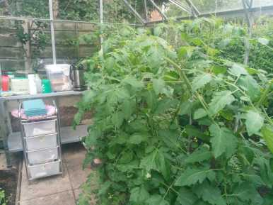 tomatoes doing well in the greenhouse