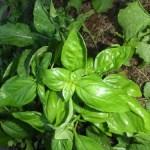 basil feta & pistachio pesto