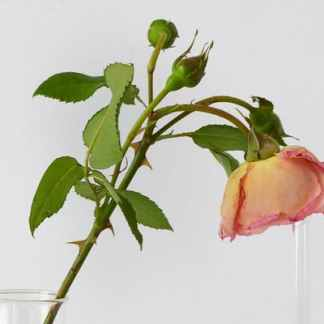 Bottle the fragrant language of a rose workshop tea stories