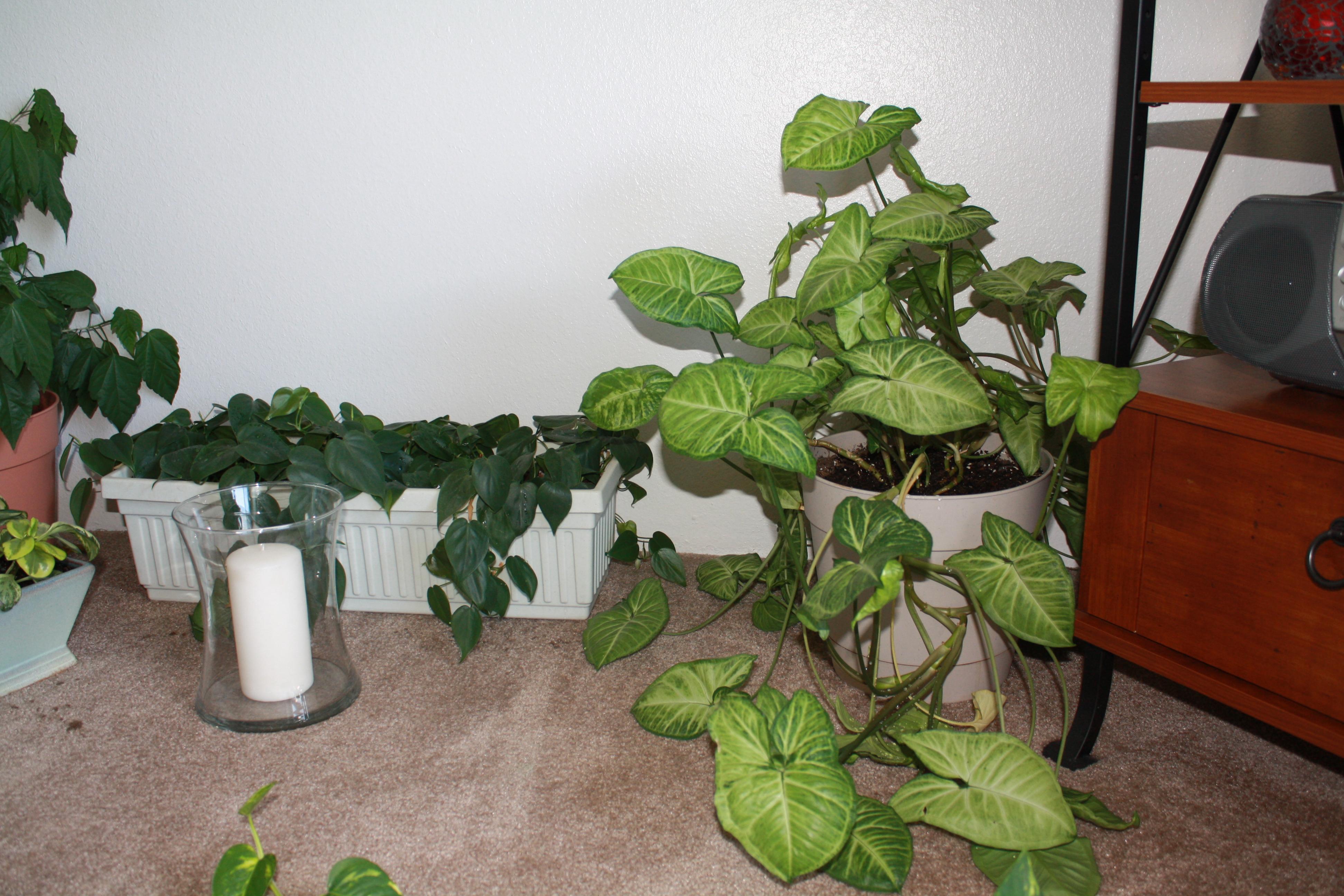 Best Kitchen Gallery: Arrowhead Plant Good To Grow of Arrowhead House Plant Names on rachelxblog.com