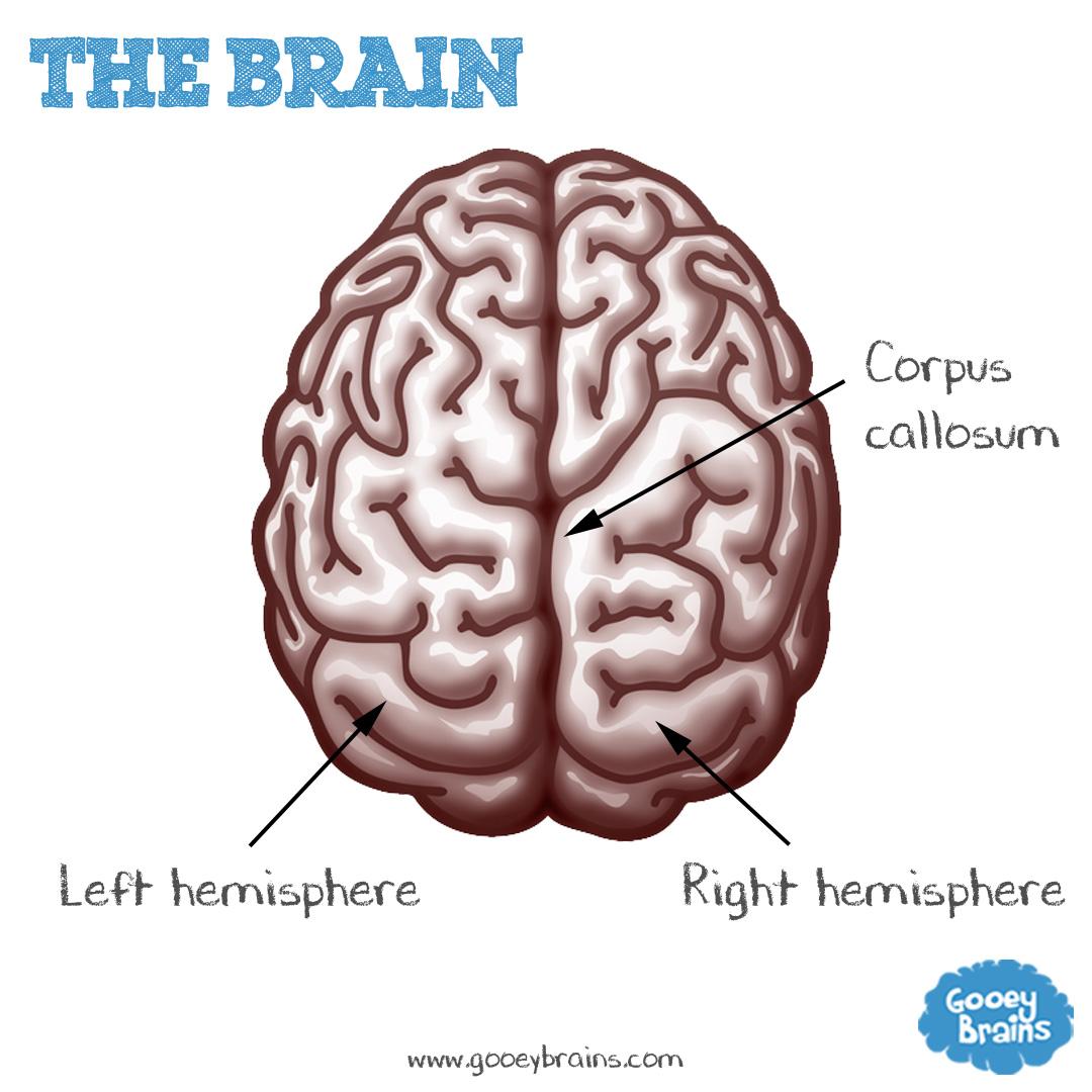 Brains 101
