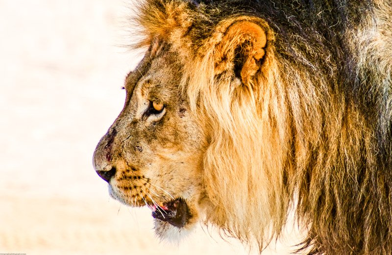 Black-maned Kalahari Lion Wildlife Photography