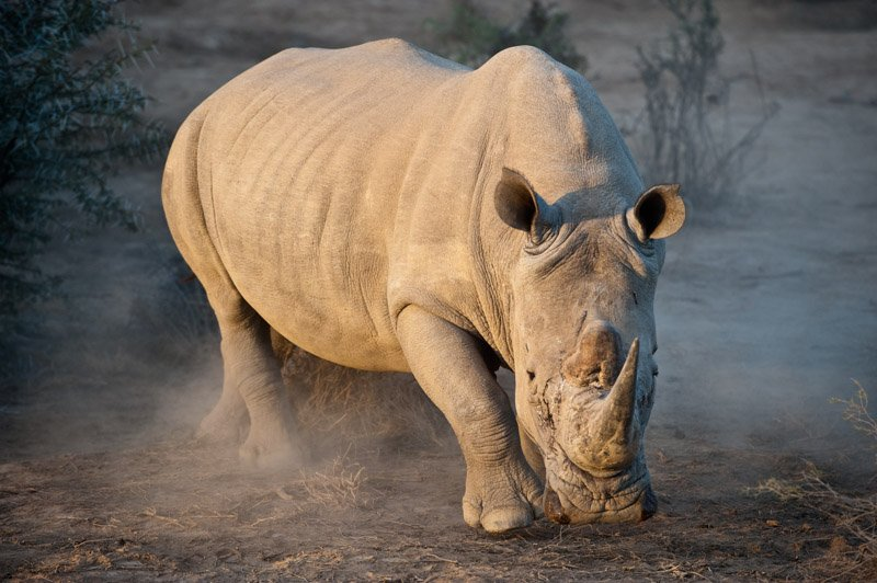 White Rhino Ready or Not Wildlife Photography