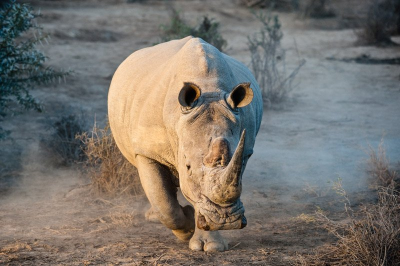 White Rhino I Warned You Wildlife Photography