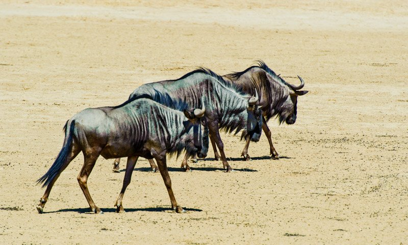 In Step Blue Wildebeest Wildlife Photography
