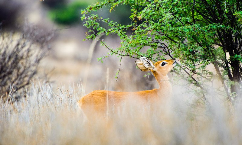 Steenbok Small Game Wildlife Photography