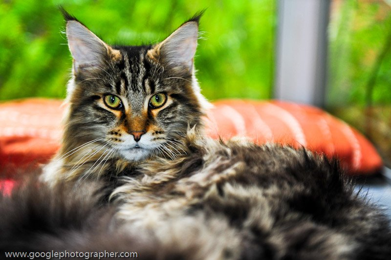 Coco Miaygi Maine Coon Cat Pet Photography