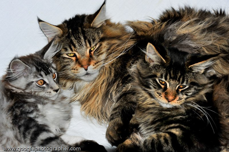 Us Three Maine Coon Cats Pet Photography