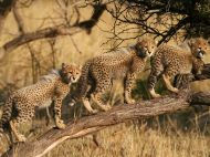 cheetah-cubs-south-africa_Phinda