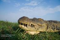 Extreme close-up of a Nile Crocodile on the Chobe river (Botswana). Photo by Grant Atkinson.