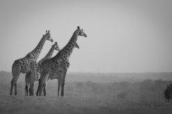 A journey of Giraffe