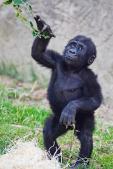 Baby gorilla exploring its environment