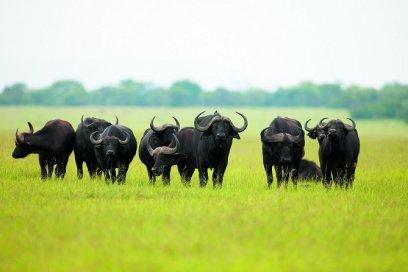 buffalo-herd Singita