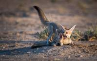 Cape Fox pups play-fight with each other in the golden light of an afternoon in the Kalahari.
