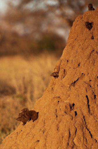 Dwarf-mongooses - 20Sept12 Londolozi