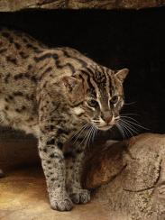 Fishing Cat (Prionailurus viverrinus), is one of the most Endangered species.