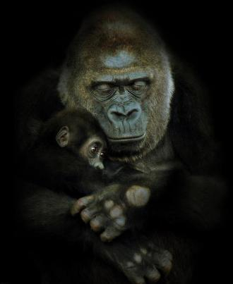 Gorilla and baby. By photographer Natalie Manuel.