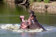 hippo-fight-10-of-10