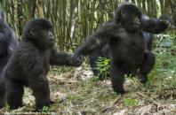 Infant Mountain gorilla twins Isango and Isangano explore in the Virunga Mountains.2