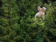 kermode-bear-tree_37821_990x742