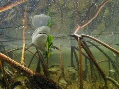 lemon-shark-mangrove-bahamas-skerry_41135_990x742