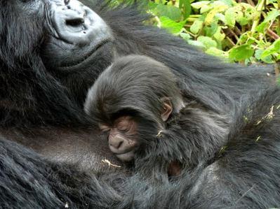 Newborn Gorilla named Agasore (Little Man) born in Rwanda on June 18 2013