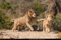 A playful lioness taunts a male from the Selati coalition