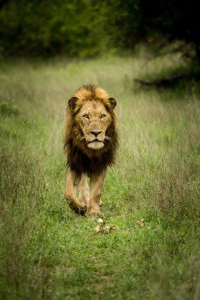 aa Hip-scar lion