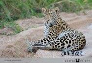 Chitwa lazing leopard - by Alessandra Pertegato