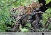Chitwa leopards